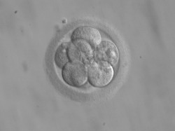Embryo 8 cells