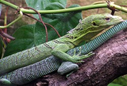 Green tree monitor lizard
